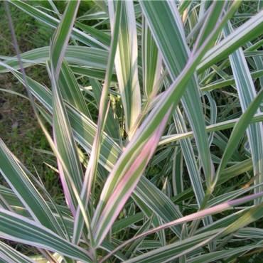 Фалярис тростниковый Триколор