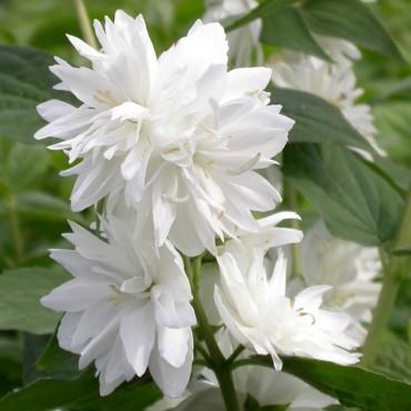 Жасмин садовый Миннесота Сноуфлэйк