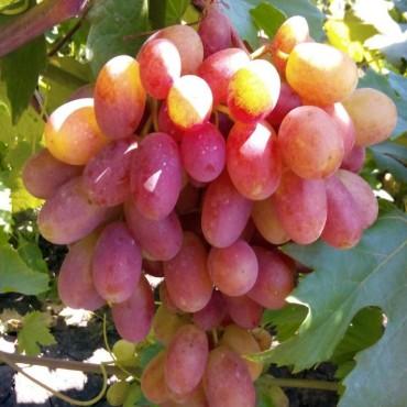 Виноград плодовый Преображение