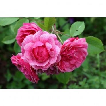 Роза канадская парковая Моден Руби