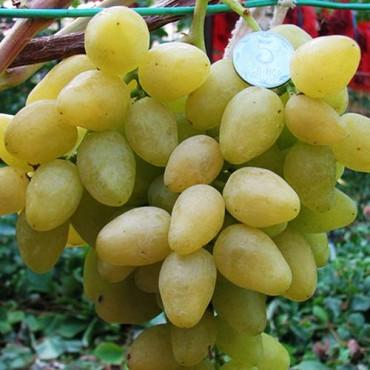 Виноград плодовый Долгожданный