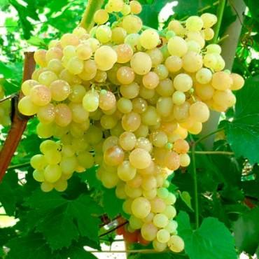 Виноград плодовый Кишмиш №342