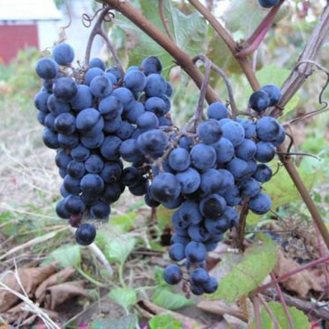 Виноград плодовый Первенец Амура