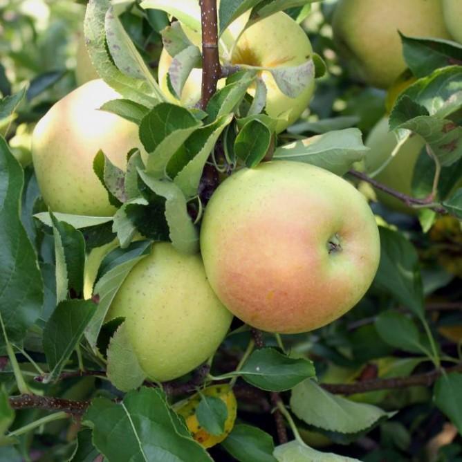 Яблоня карликовая Чудное