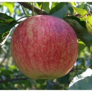 Яблоня Орловское полосатое (подвой 54-118)